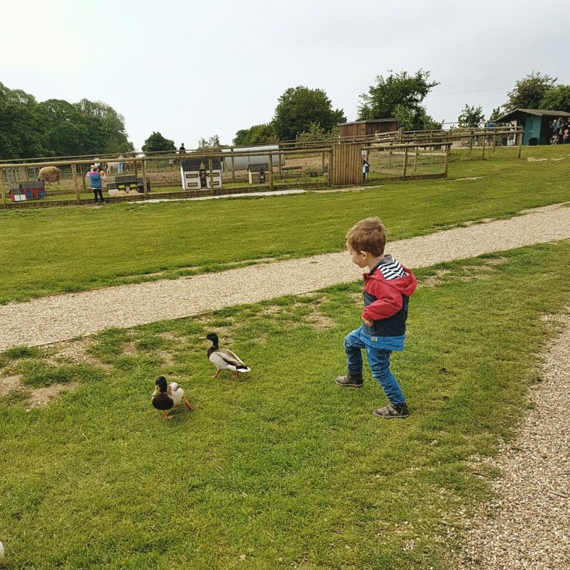 Biggest chasing ducks at Jimmy's Farm