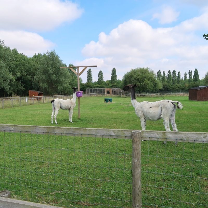 Alpacas at All Things Wild Evesham