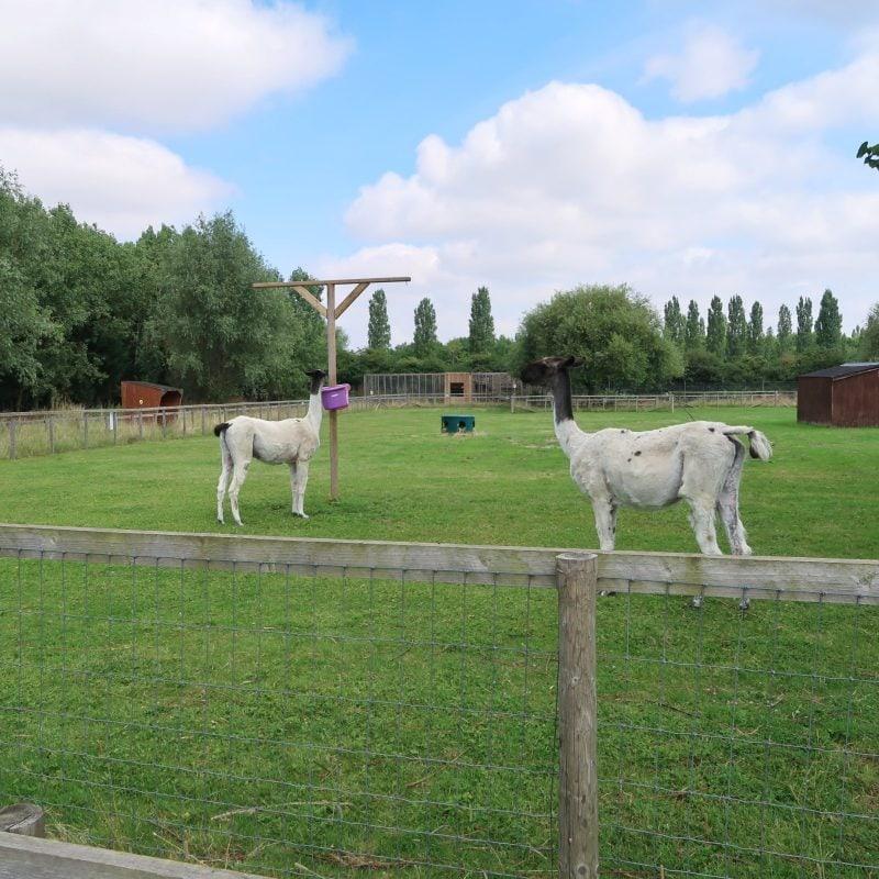 Alpacas at All Things Wild Evesham