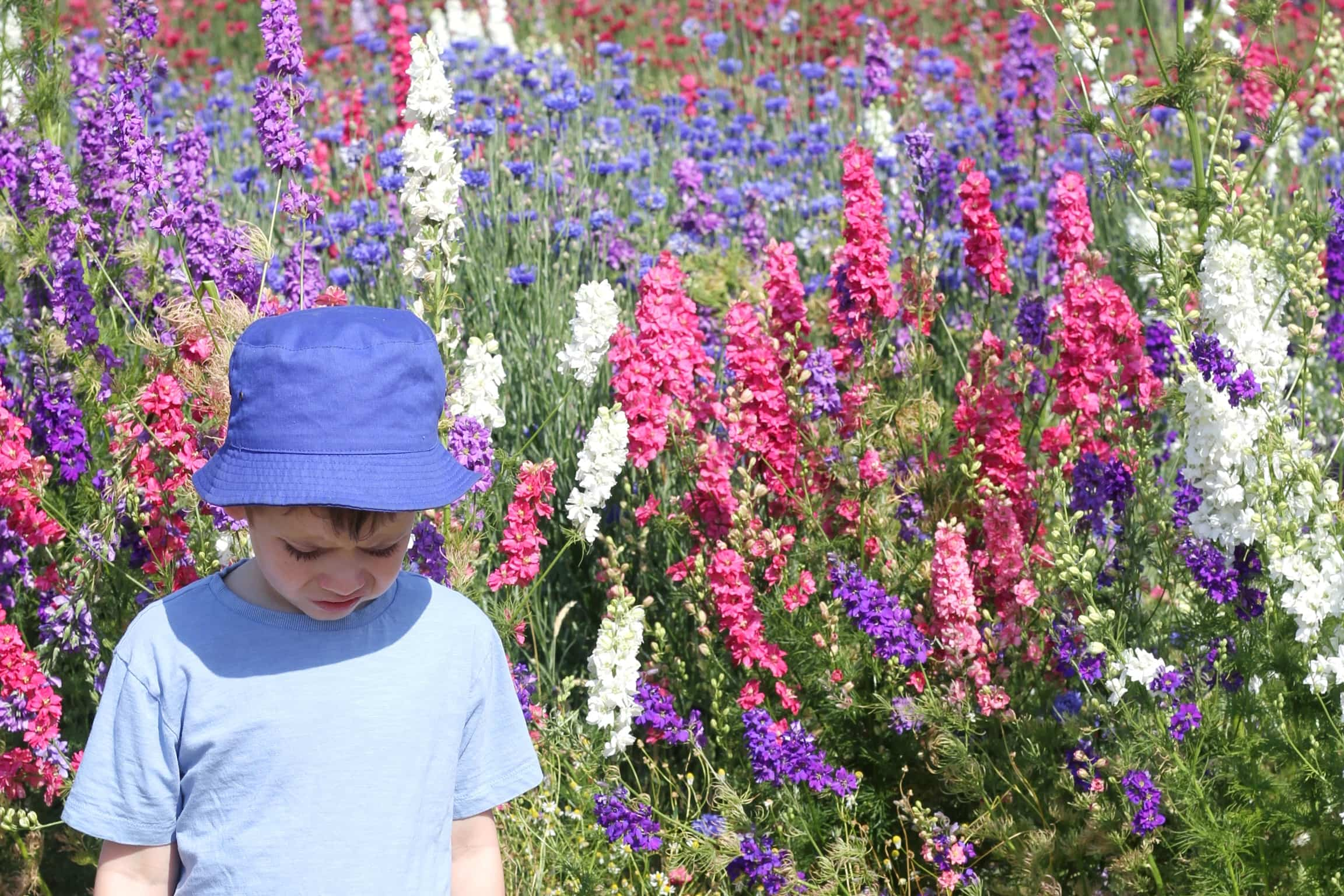 Small boy looking down, surrounded by pink, purple and white delphinium flowers