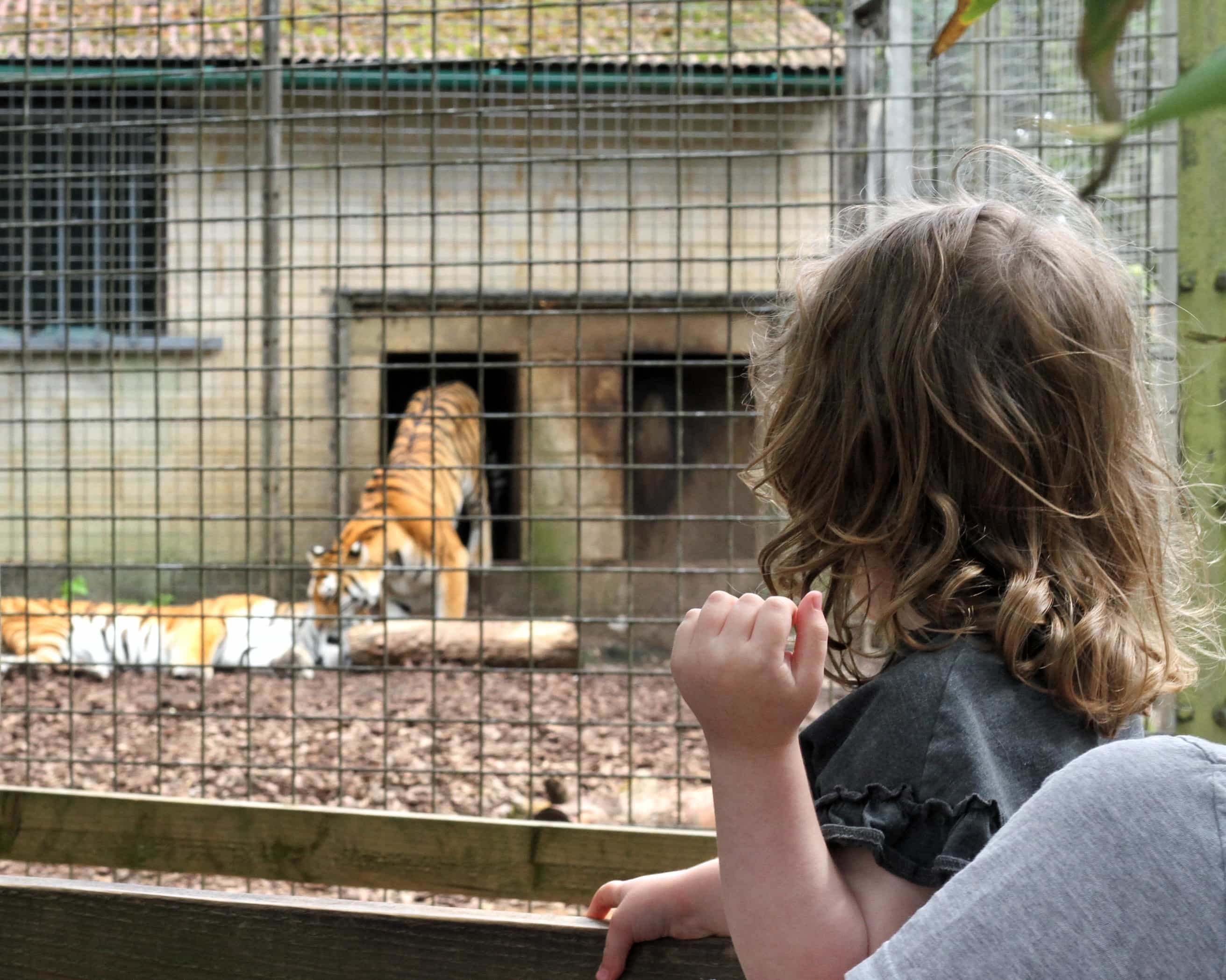 Littlest's watching the tiger pair