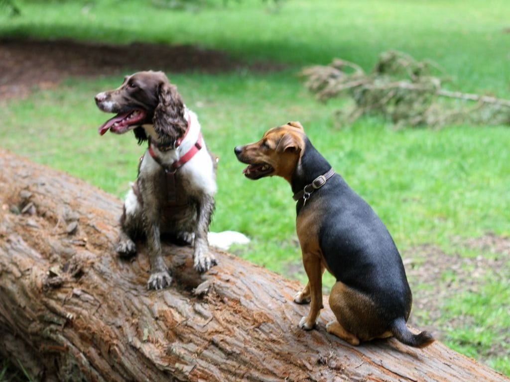 Springer Spaniel and Jack Russel sitting on a log